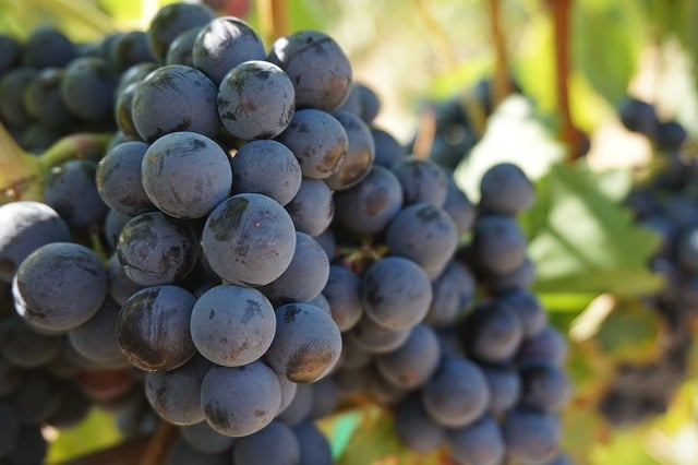 Wine grapes on the Lehigh Valley Wine Trail