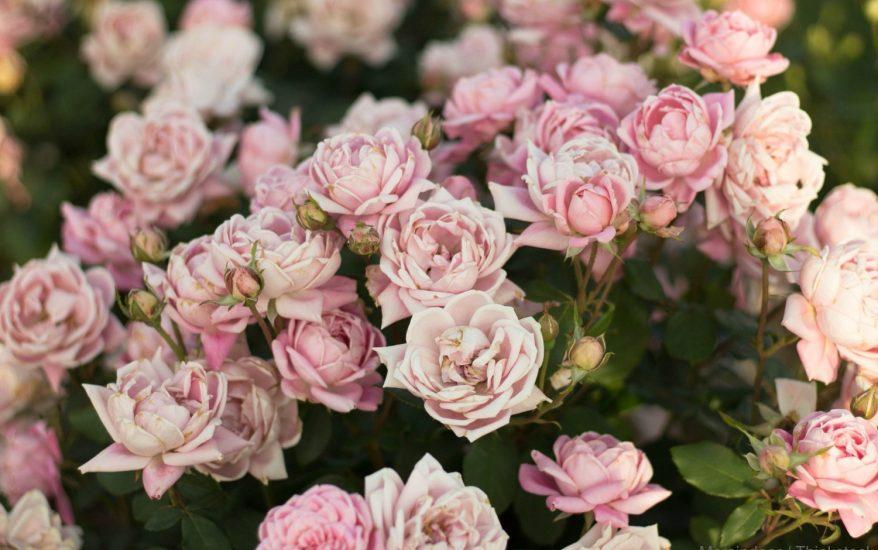 Allentown Rose Gardens