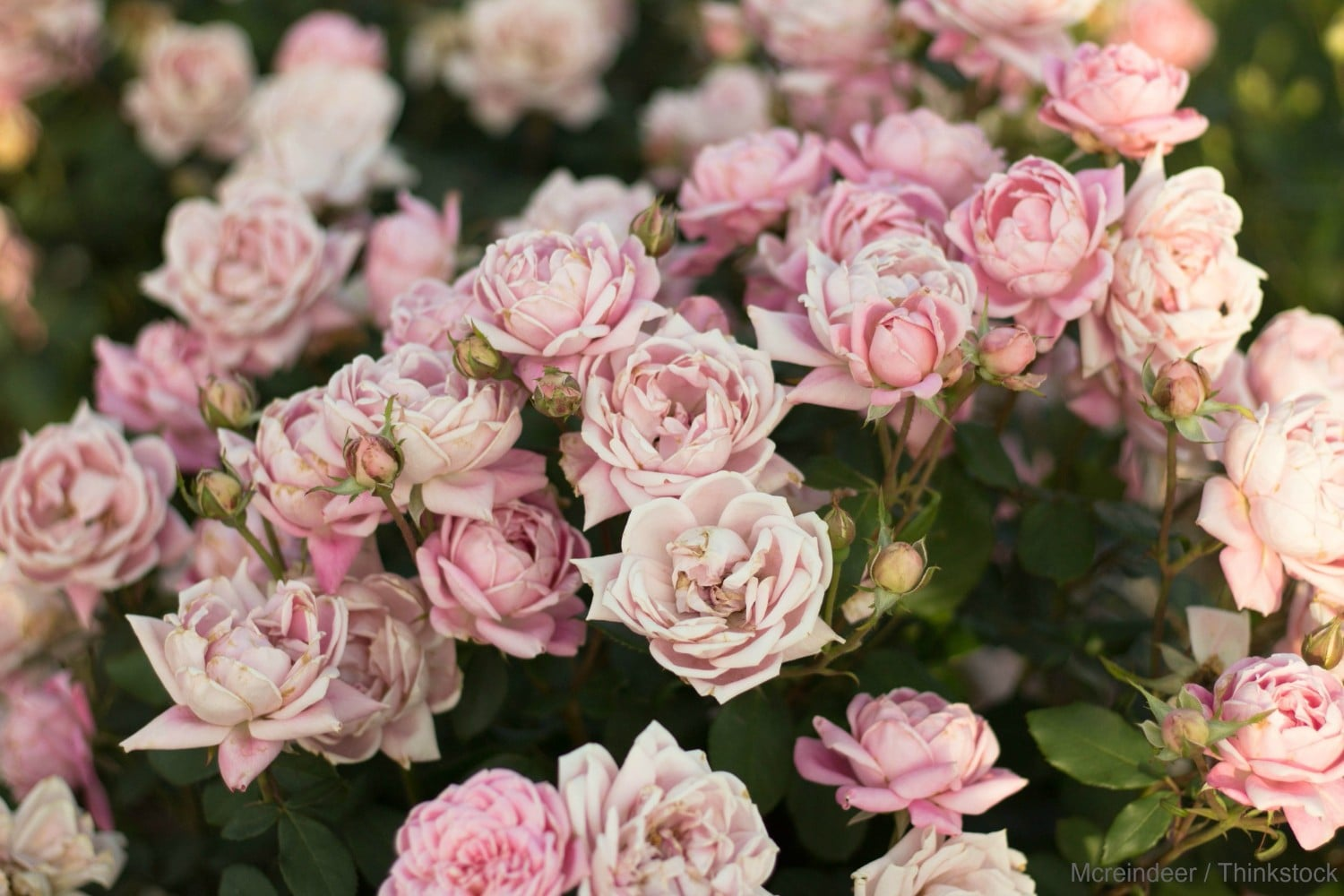 Roses In Garden: Why You Need To Visit The Beautiful Allentown Rose Gardens
